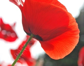 Red Poppy, BeautifulFlower, Nature Photography, Flower Photography, Wall Art, Photo Prints, Home Decor, Flower Print, Red Poppy Print