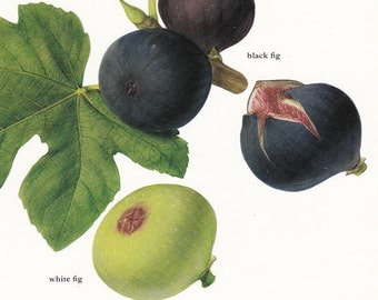 Fruit print figs vintage Botanical Print by Marilena Pistoia kitchen decor gardening gift 8 x 11.25 inches