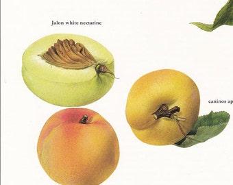 Fruit print apricot nectarine vintage Botanical Print by Marilena Pistoia kitchen decor gardening gift 8 x 11.25 inches