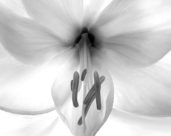 Black and White Photography, Black and White Flower Photo, Amaryllis Photo, Black and White Flower, Black and White Photo, Flower Painting