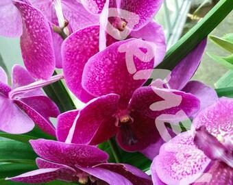 Purple Orchids photo