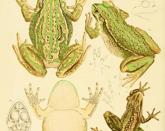 The Green and Golden Bell-Frog Victorian Vintage Giclée 12x8 Art Print Amphibian Science Antique