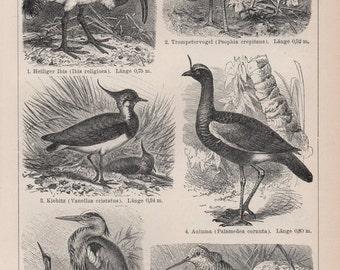 Antique Bird Print - Antique Bird Lithograph from 1890