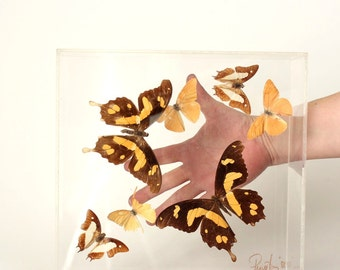 real butterfly shadowbox . vintage acrylic butterfly display case . butterfly shadow box . real butterflies mounted in acrylic box