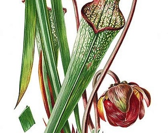 Pitcher Plant Saerracinea Drommundi Notecard Graduation Halloween thinking of You Handmade