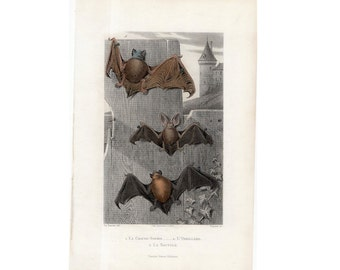 1850 TRIO of BATS ENGRAVING - original antique print - rare hand colored French Chiroptera print - bats by Traviès - perfect for Halloween!