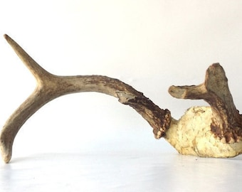 vintage deer antlers skull taxidermy 5 point animal farmhouse rustic cabin decorative home decor old antique natural primitive nature