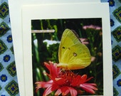 Pretty Sulphur BUTTERFLY CARD - Lovely Insects, Insect, Butterflies, 5 by 7 Nature Photo Photograph Note Cards Entomology Yellow Flower