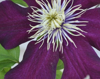 Plum Clematis PhotoArt Greeting Card