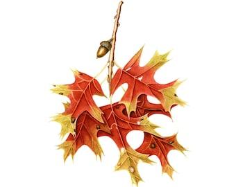 A Windswept Autumn Oak Leaf, watercolor painting