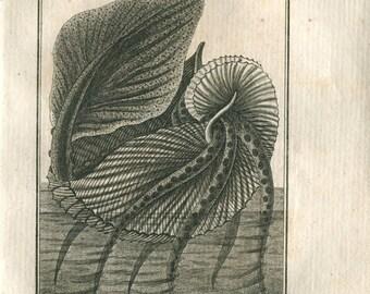 1802  Argonaut Antique Engraving by Denys-Monfort, Paper Nautilus Octopus Marine Animal, Buffon
