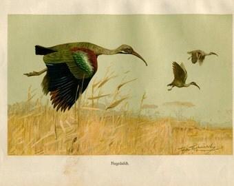 Vintage Print of Birds Hadada Ibis Brehms Tierleben 1920s Chromolithograph