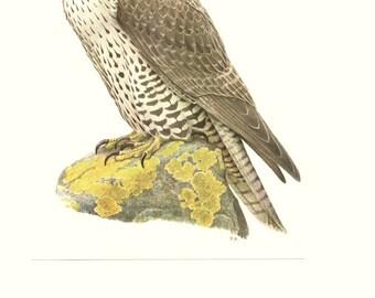 Gyrfalcon print 1959 Vintage Falcon art Bird print Birds of prey painting bird art Bird print Vintage Falcon poster Bird watercolor falconry