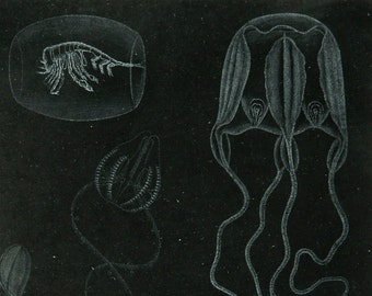 1895 Antique lithograph of ABBYSAL CREATURES. Deep Sea Fishes. Sea Life. Jellyfishes. Marine animals. Zoology. 122 years old gorgeous print