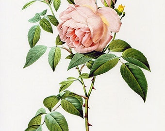 Instant Download Pink Redoute Rose Print Yourself Digital Image Victorian romantic tearose
