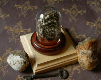 Naturalist's Small Display Wasp Nest With Bell Jar - European Paper Wasp - Species Polistes Dominula