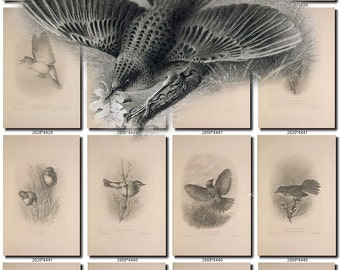 BIRDS-26-bw Collection of 229 black-and-white vintage Warblers High resolution pictures digital download printable animals illustrations