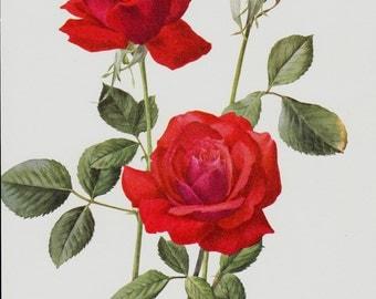 ROSE Original vintage botanical print, red roses 1950s
