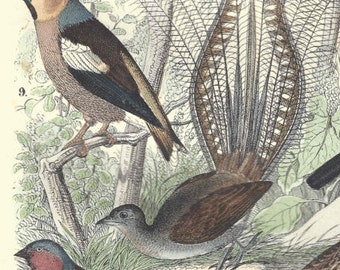 1857 Antique Bird Print Hand Colored Engraving German Original Ornithology