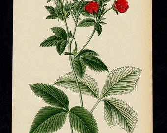 1896 Antique print, BOTANICAL print, lovely chromolithograph of a flower, red potentilla