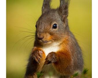 Red Squirrel - Sitting Pretty