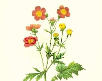 Geum, Red avens, Large Size, Redoute Botanical Print,Dwarf Orange Avens, Flower For Framing Wall Art  home decor