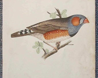 Antique hand tinted bird  illustration (zebra finch)