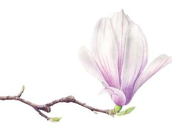 Magnolia Soulangeana. Botanical illustration. Fine art watercolor print.