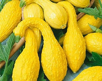 Squash Seeds 250 Yellow Crookneck Summer Squash Seeds