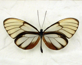 See-through Glasswing Butterfly- Godyris duilia - Real Framed Butterfly