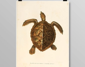 Vintage Turtle Art, Turtle Wall Decor, Antique Turtles, Vintage Lithograph, Reptile Print, Turtle print, Vintage Art Print, 381