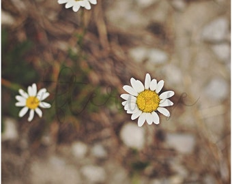 Daisy Print. Daisy Photography. Flower Photography. Flower Print. Botanical Print. Nature Photography. Nature Print. Floral Wall Art.
