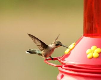 Hummingbird, feeder, feeding, nature, photo, print, photography, wall art, home decor