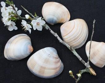 Shells - Set of 5