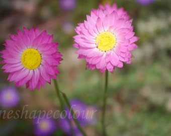 Two pink flowers - Nature photography print