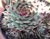 """Sempervivum Calcareum 3.5""""-4"""" Potted Succulent Plant // Succulents"""