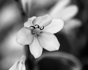 "Flower Photography, Black and White Photography, Flower Art, Botanical print, Nature Photography, ""White Wisps"""""