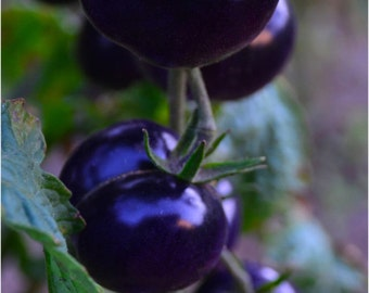 Black heirloom tomato seeds