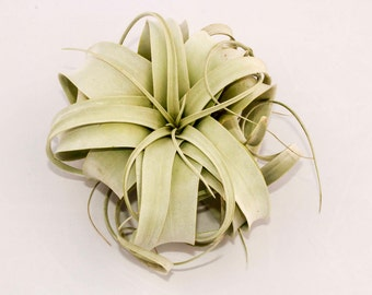 Fresh Import! Xerographica Tillandsia Air Plant | The Queen of Air Plants