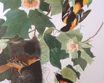 BALTIMORE ORIOLE Large Original Vintage 1964  Audubon Print, 14 x 17 inches, Bird Decor, Vintage Decor, Ornithology