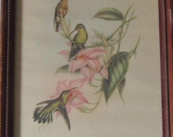 John Gould Chrysobronchus Virescens, Hummingbirds Lithograph