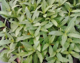 Tropical Milkweed Seedlings.
