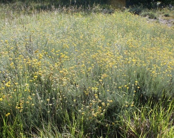 Organic dried Helichrysum Italicum harvested in Italy