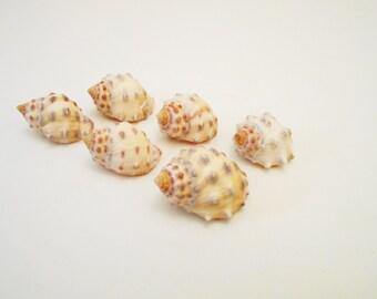 "Set of 12 Yellow Drupa Shells Seashells (3/4""-1 1/2"") Beach Craft Nautical Decor"