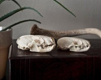 Male and Female Mink Skulls - Natural Bone