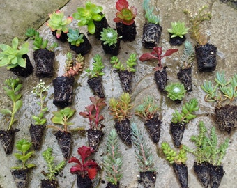 30  Mixed Rockery/Alpine plug plant collection,Fairy gardens,wedding favor,succulents,Terrarium,Sedum,Sempervivums.