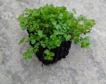 5 x Soleirolia Soleirolii. Fairy Moss,Babys tears,Helxine,mind your own buisness.Fairy gardens,wedding favor,succulents.