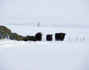 Cows in Snow, Farmyard Animals in Winter, Rural Winter Scenes