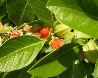 Withania Somnifera 50 Seeds, Indian Ginseng, Ashwagandha Medicinal Garden Perennial Herb Shrub