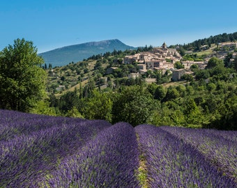 Lavendar, in Provence, France